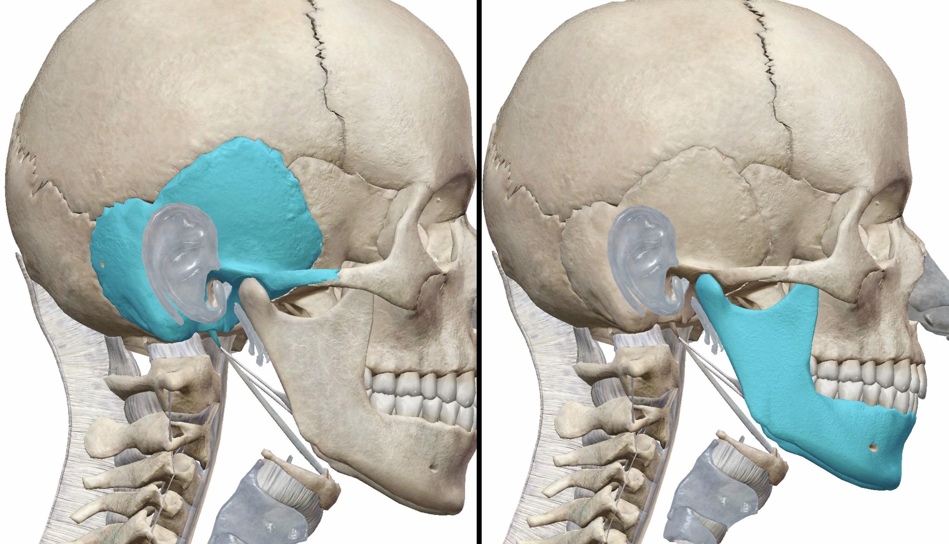 側頭骨と下顎骨の図