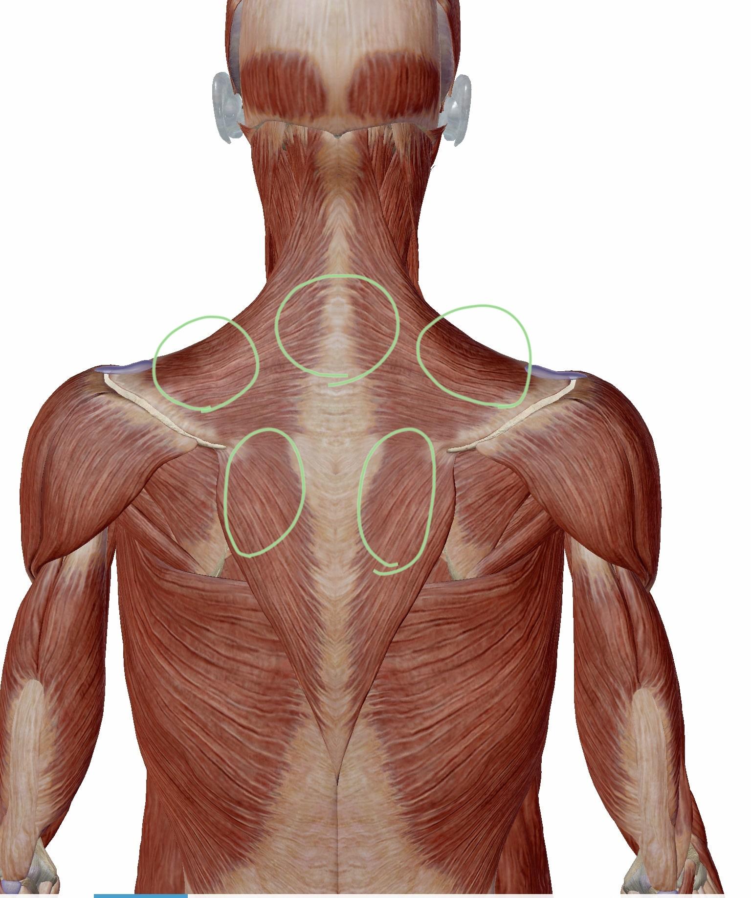 四十肩・五十肩ではなく、肩こりで症状が出る部分の図