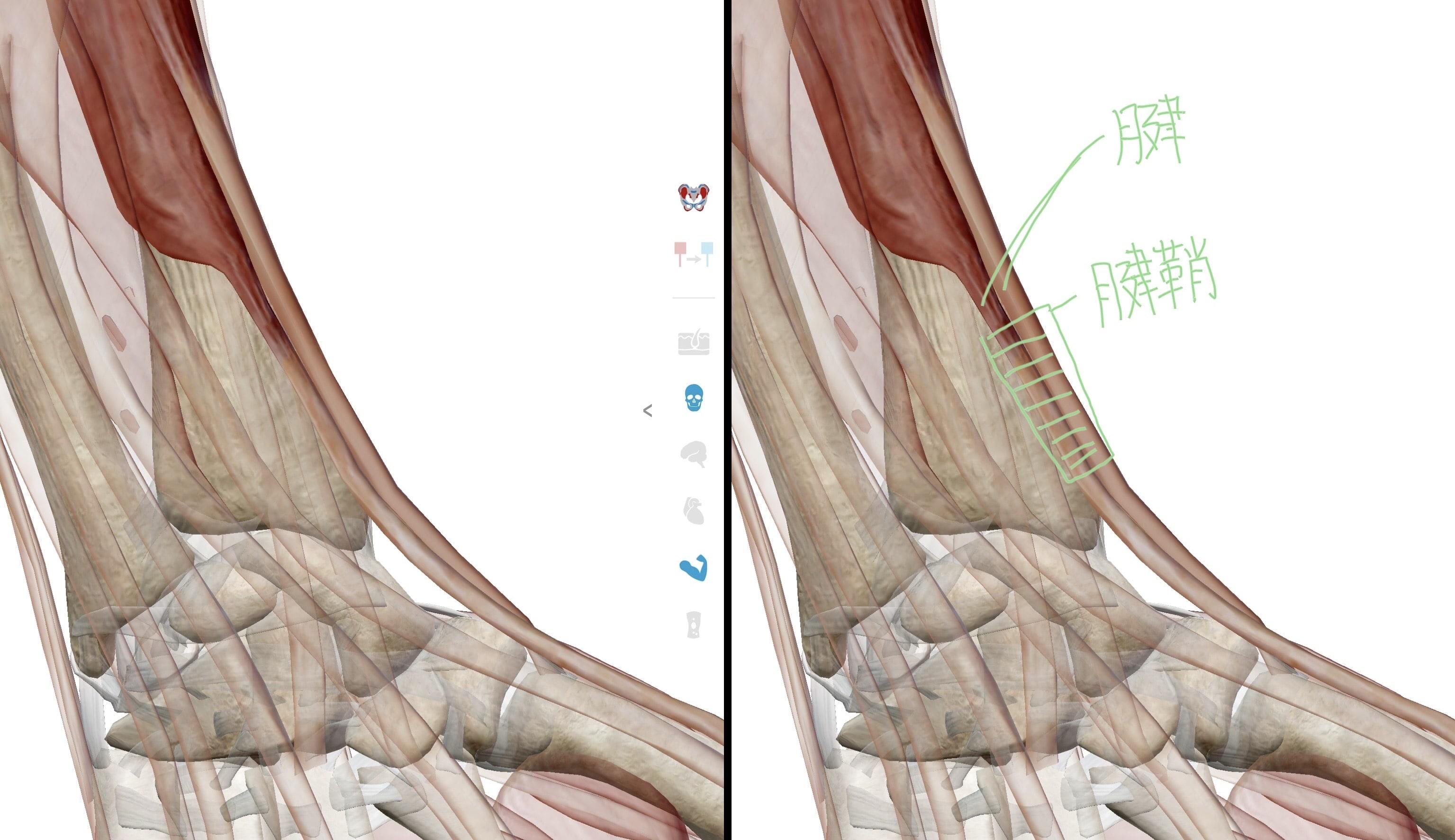 長母指外転筋と短母指伸筋の腱と腱鞘の図