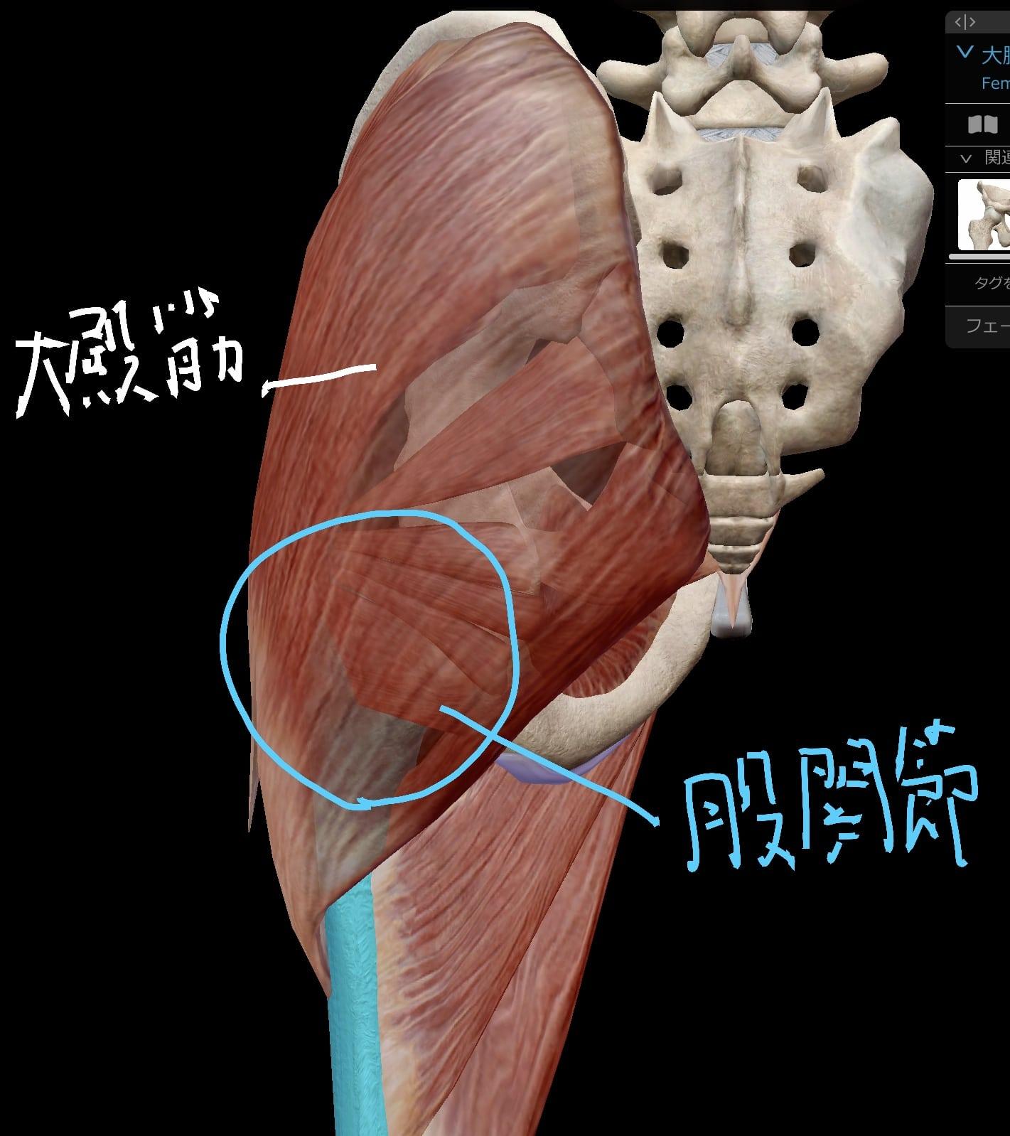 股関節後面の筋肉(第一層目)