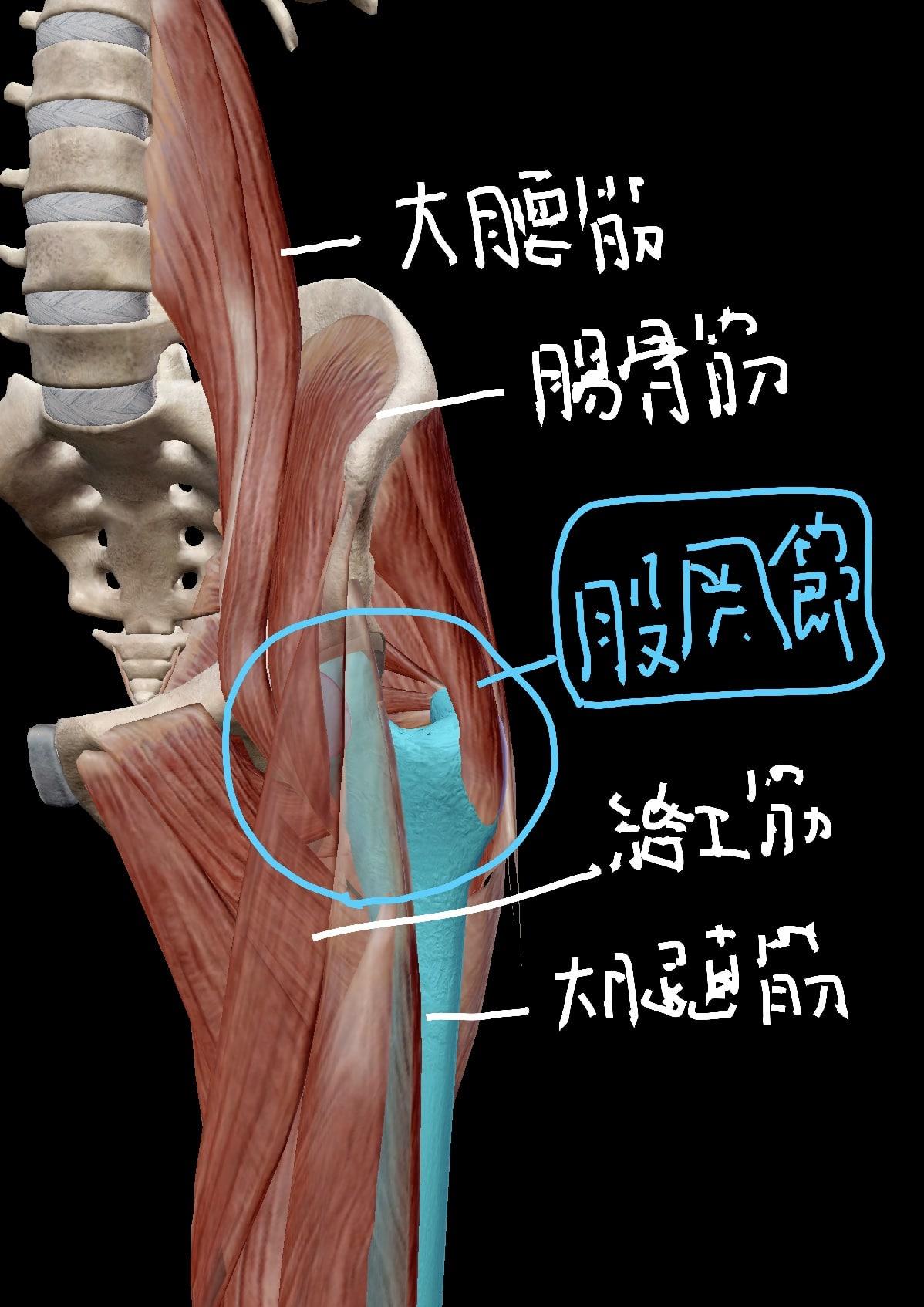 股関節前面の筋肉