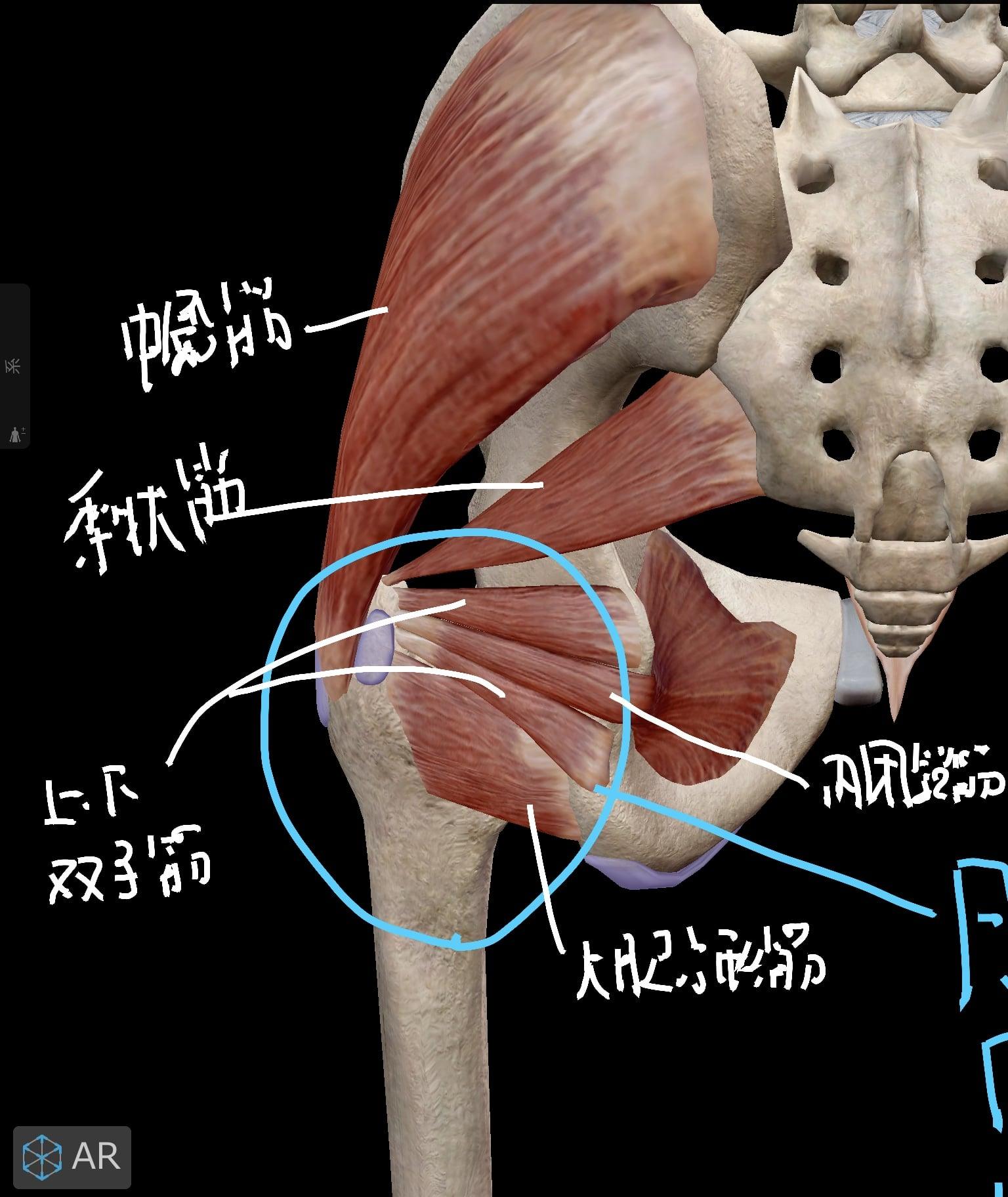 股関節後面の筋肉(第二層目)