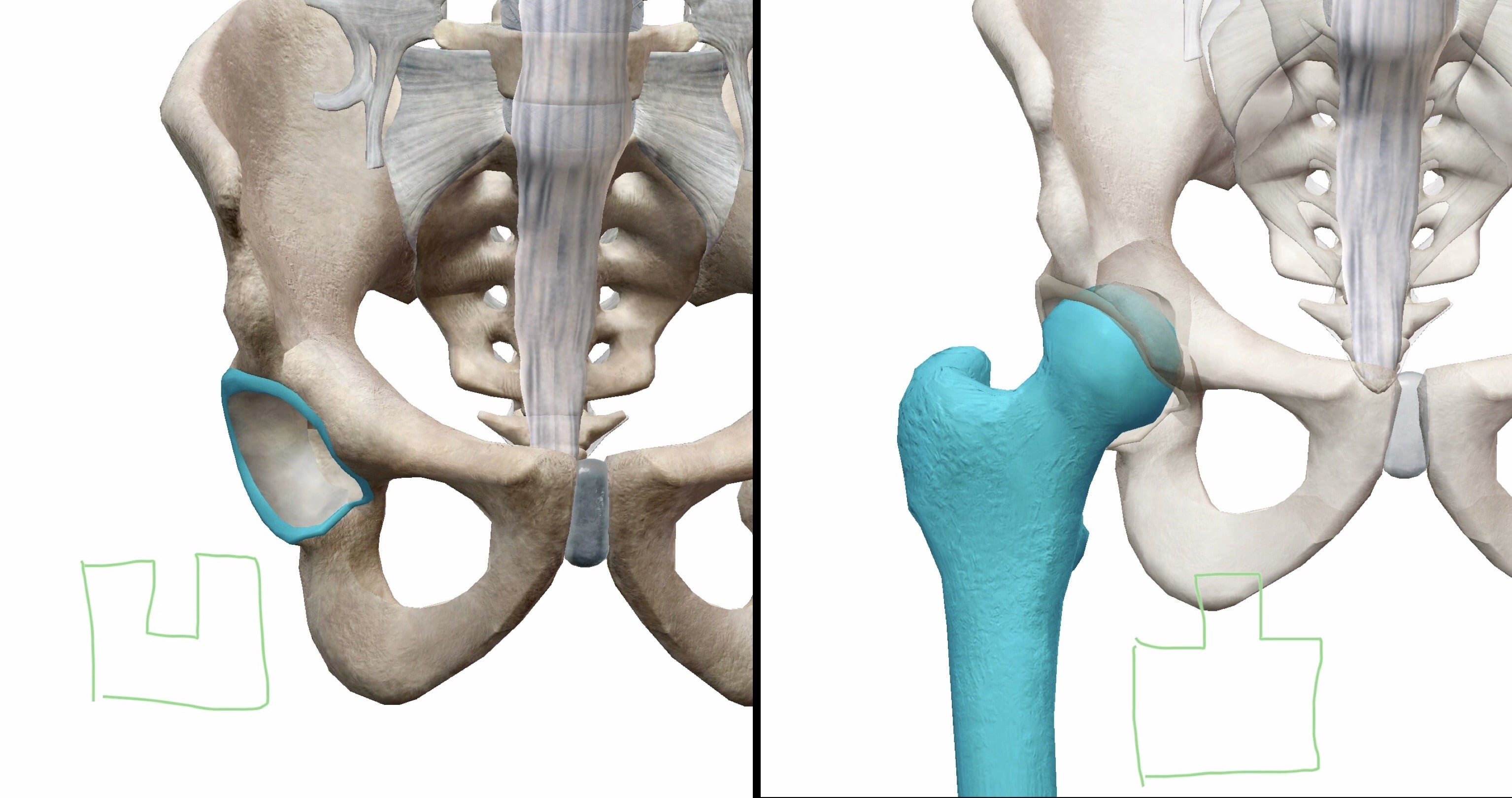 股関節の凹凸関係の図