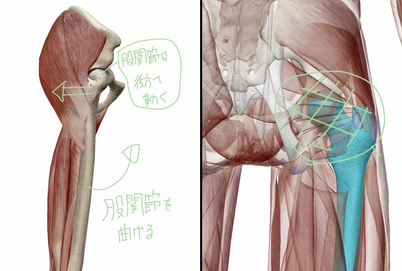 股関節を曲げた際に図