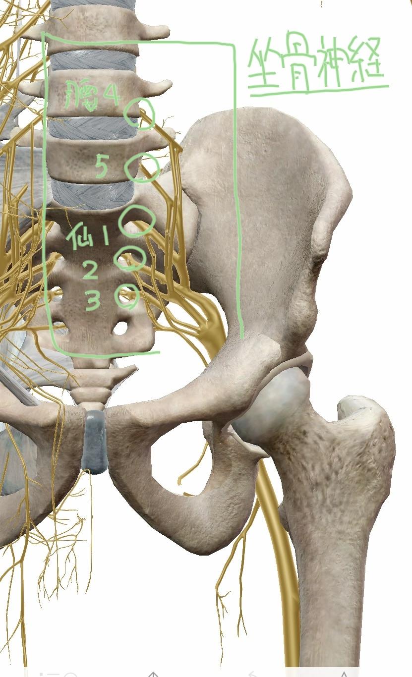仙骨神経叢の図