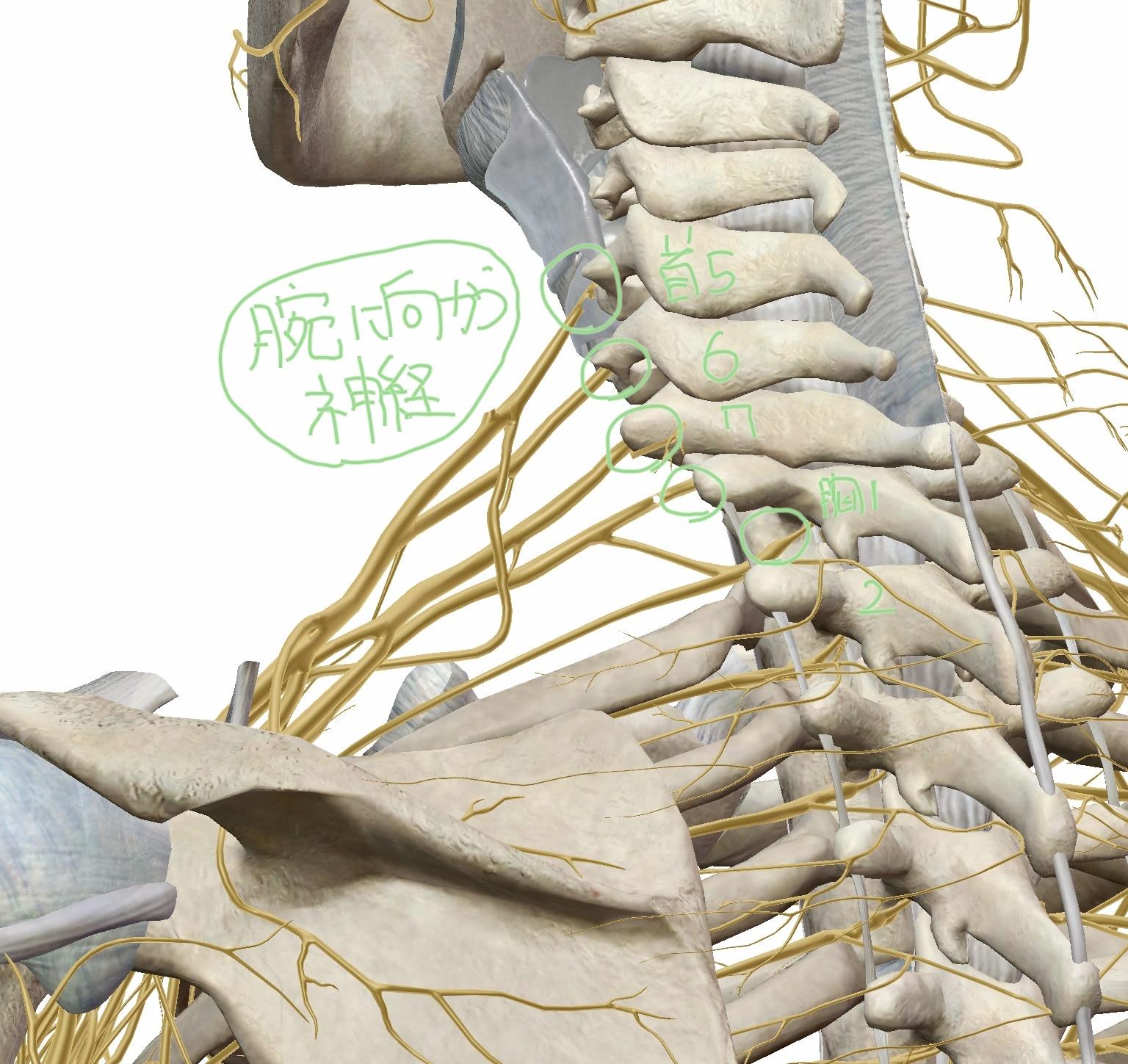 腕神経叢の図