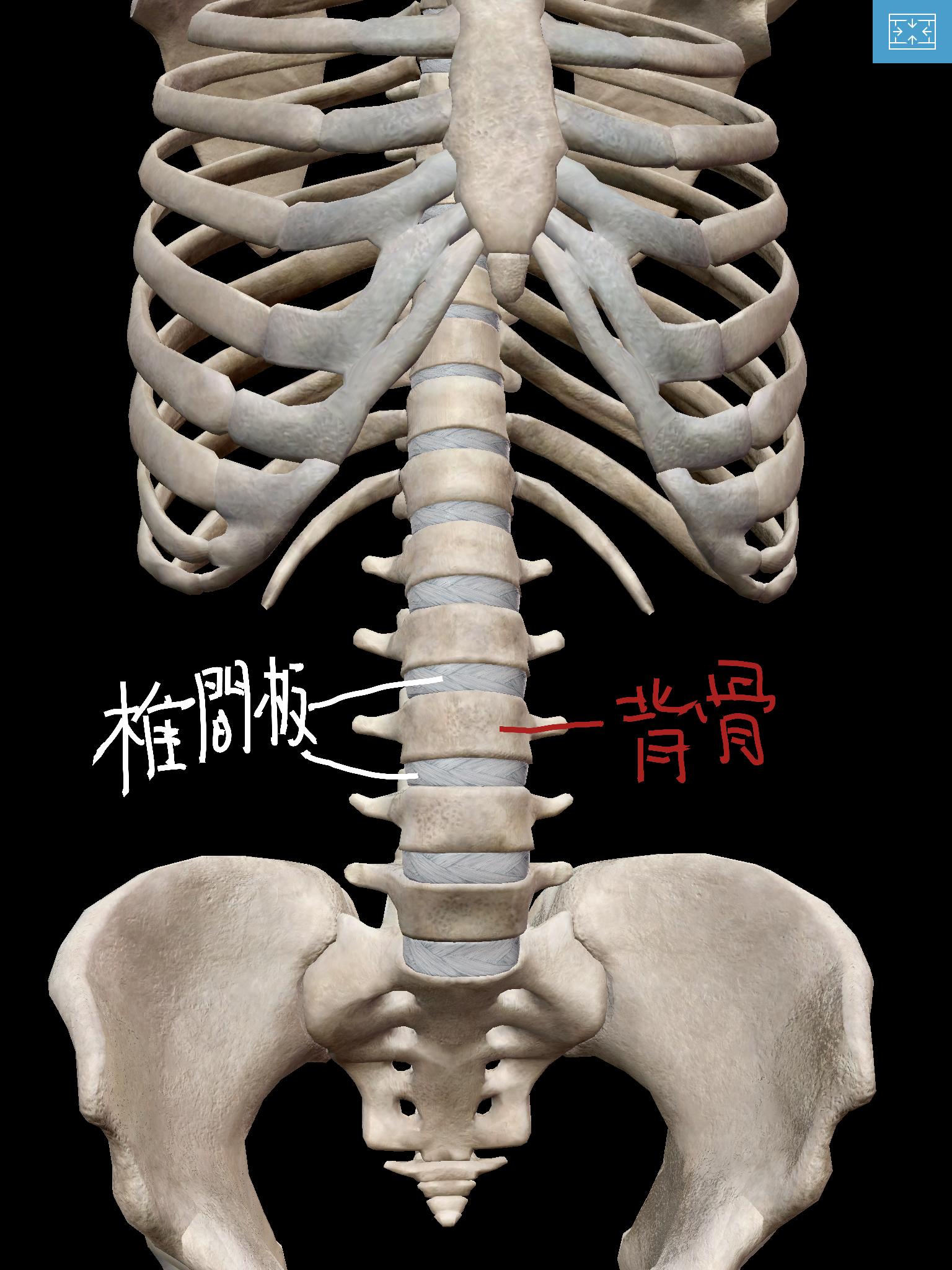 背骨と椎間板の位置関係