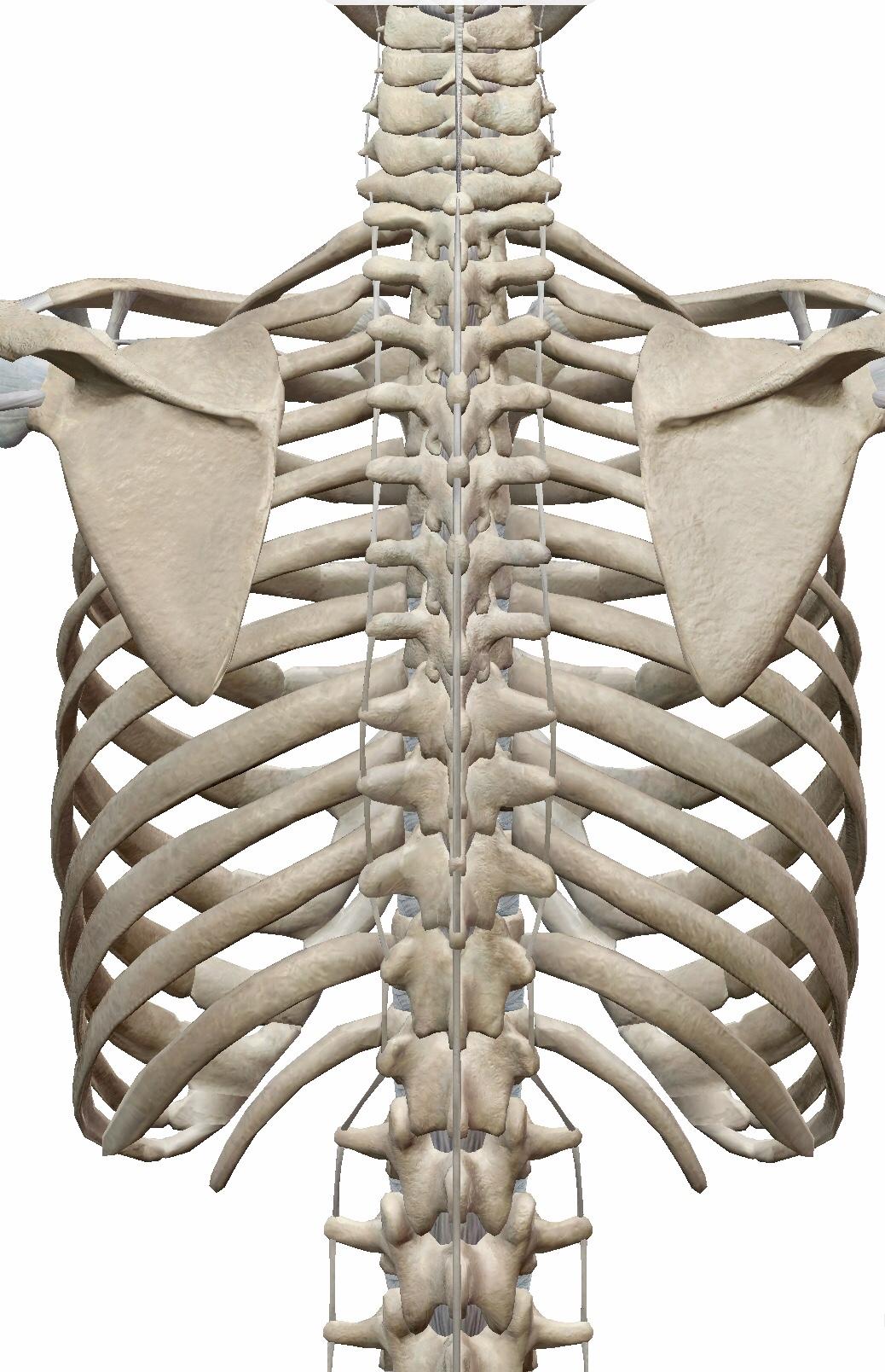 症状 肋骨 ヒビ 肋骨骨折のリアル:症状や治療方法、完治までの生活をまとめてみた
