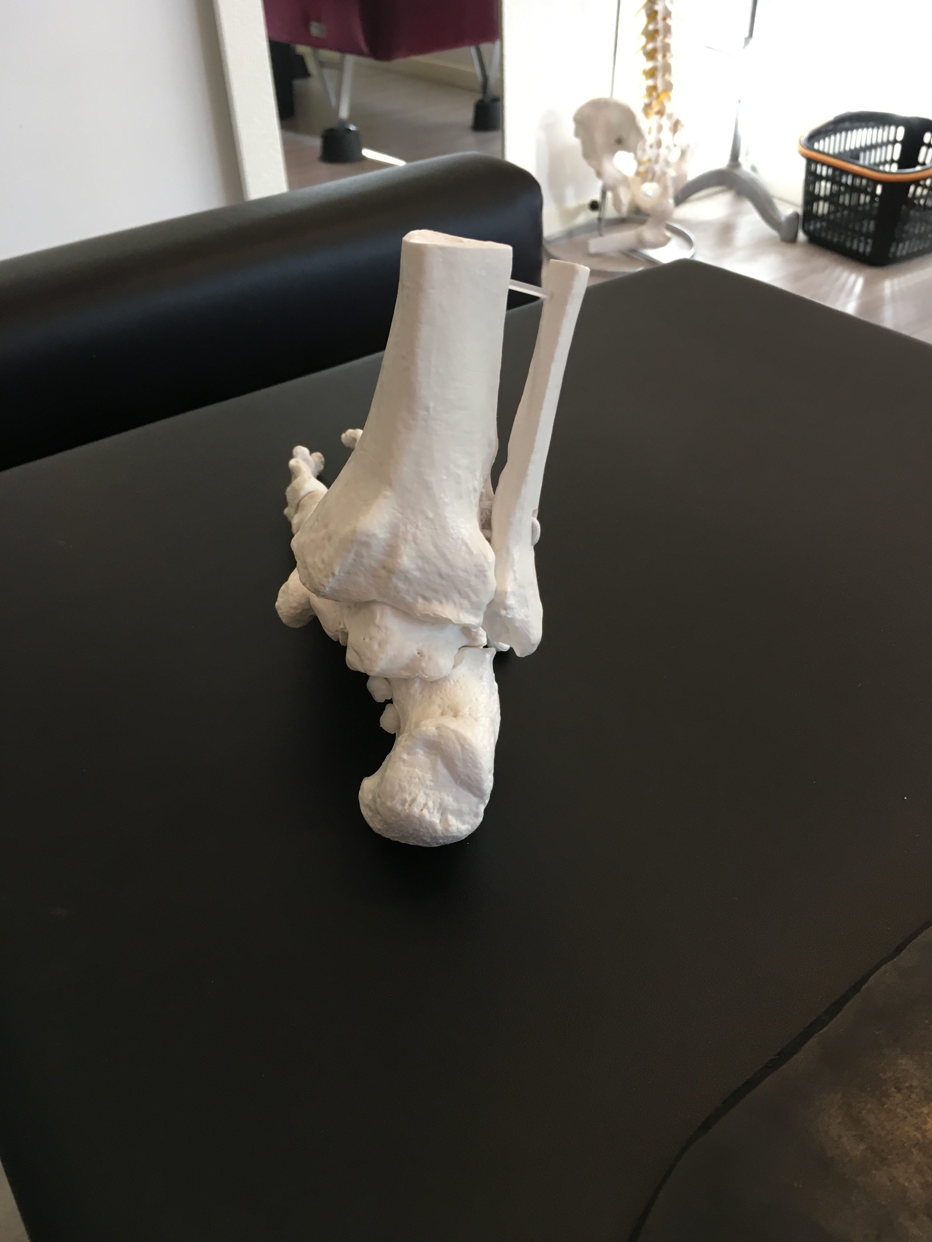 足首の模型(後面)