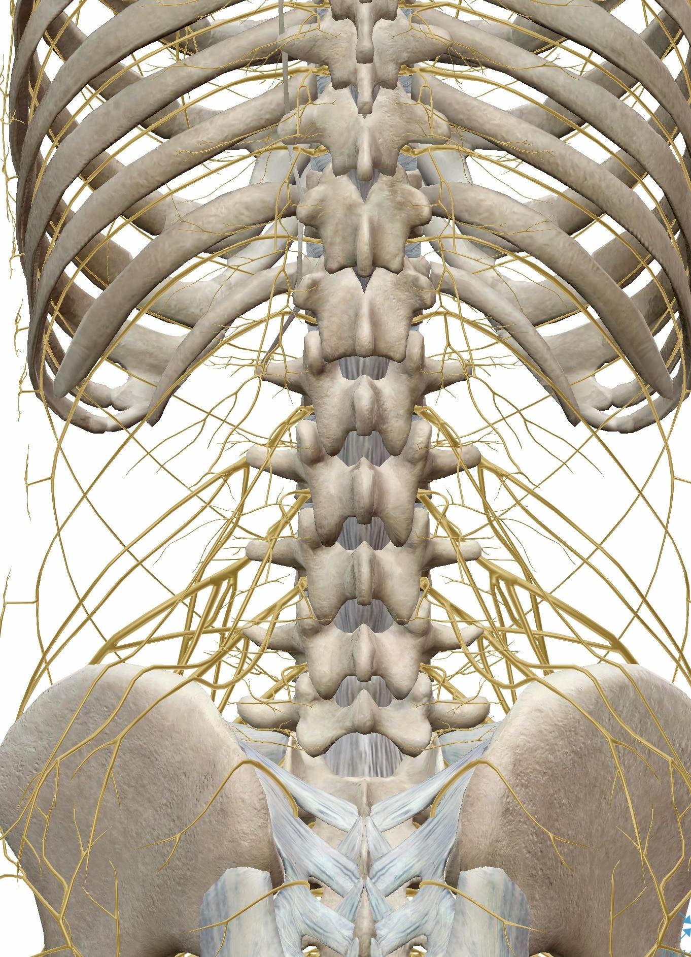 背骨と神経の図
