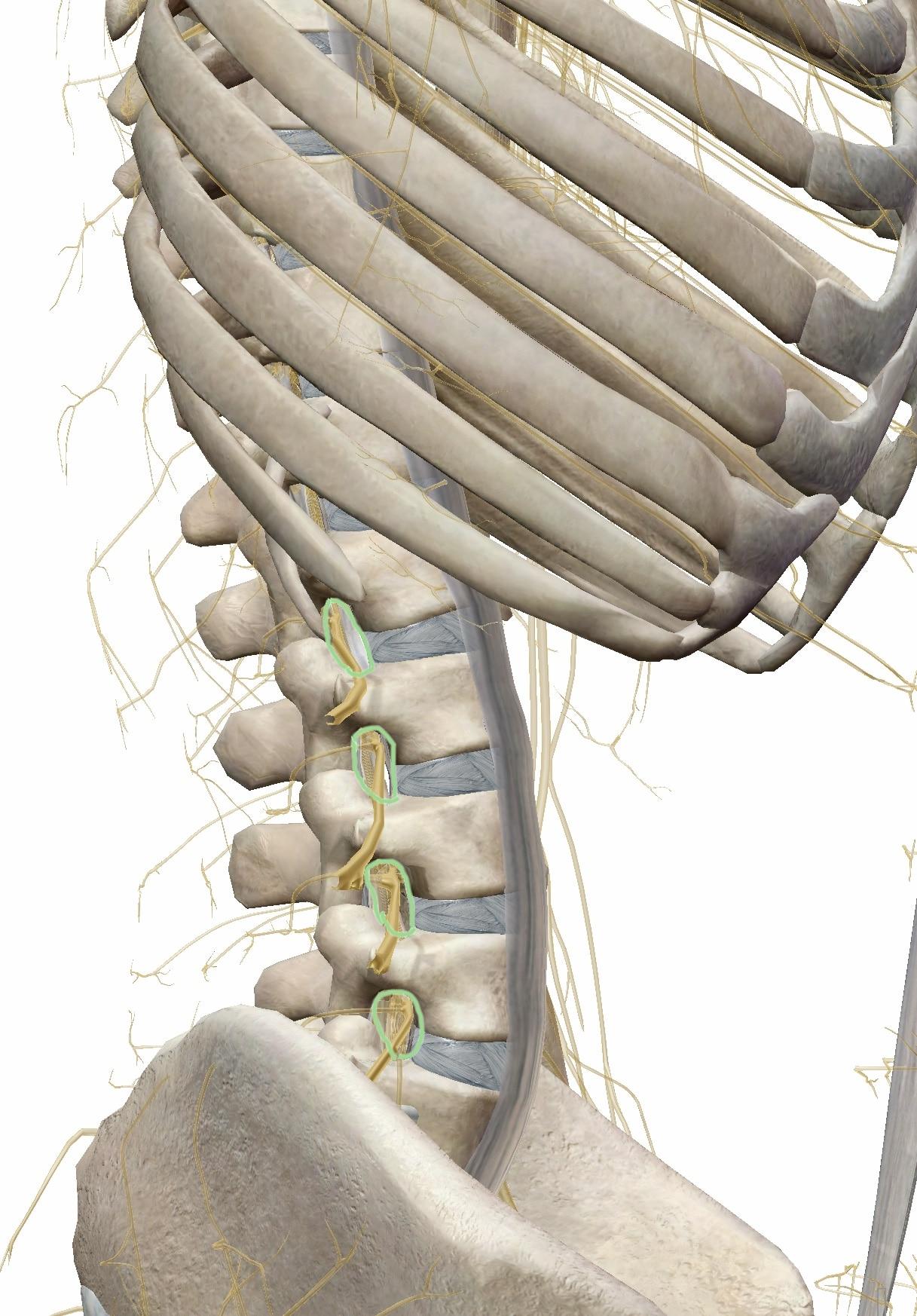 背骨と脊髄神経の側面図
