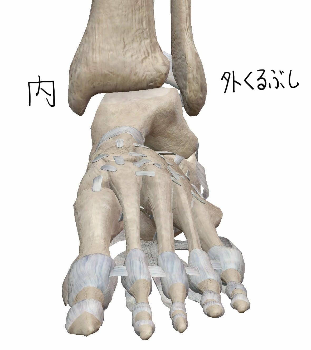 足首の前面からの図