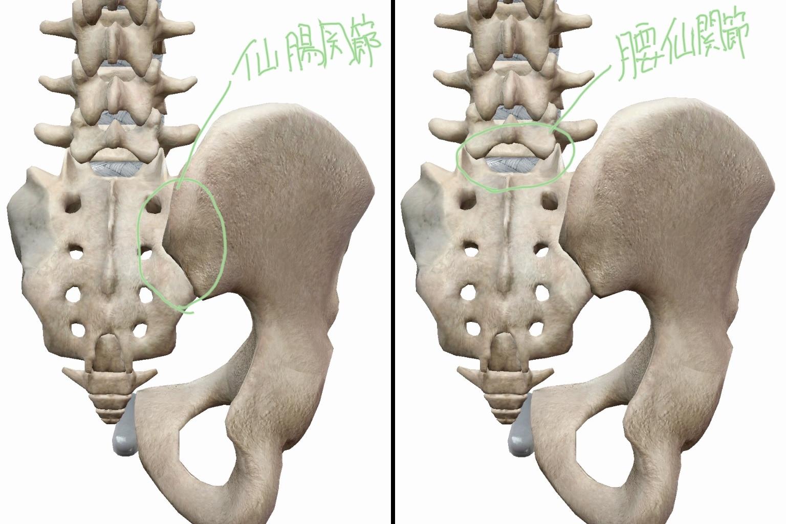 体の後面から見た、仙腸関節と腰仙関節の図