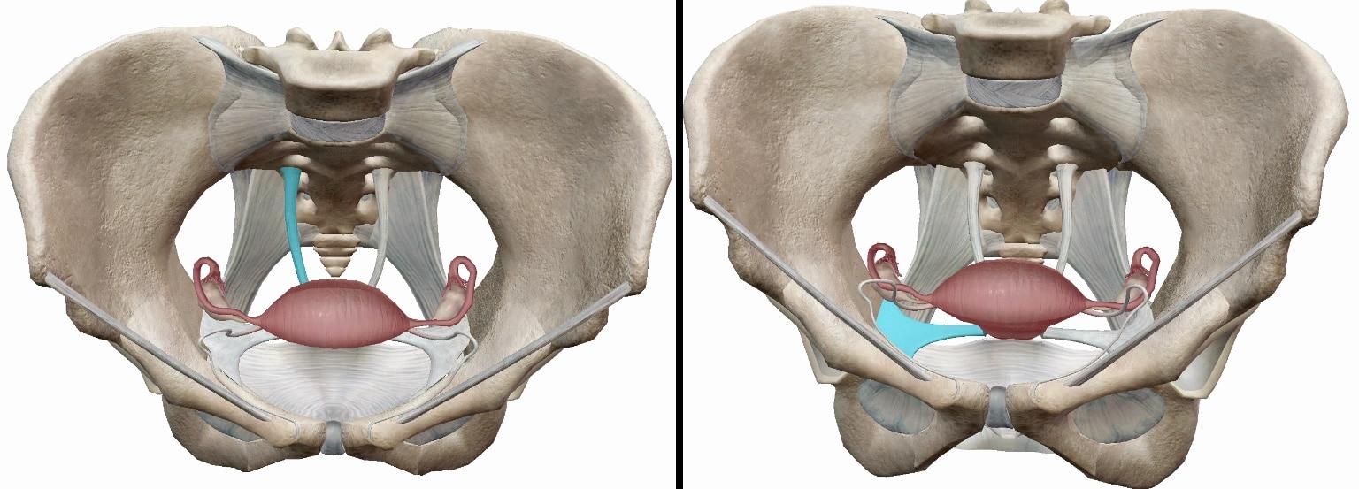 子宮を骨盤に固定している靭帯の図