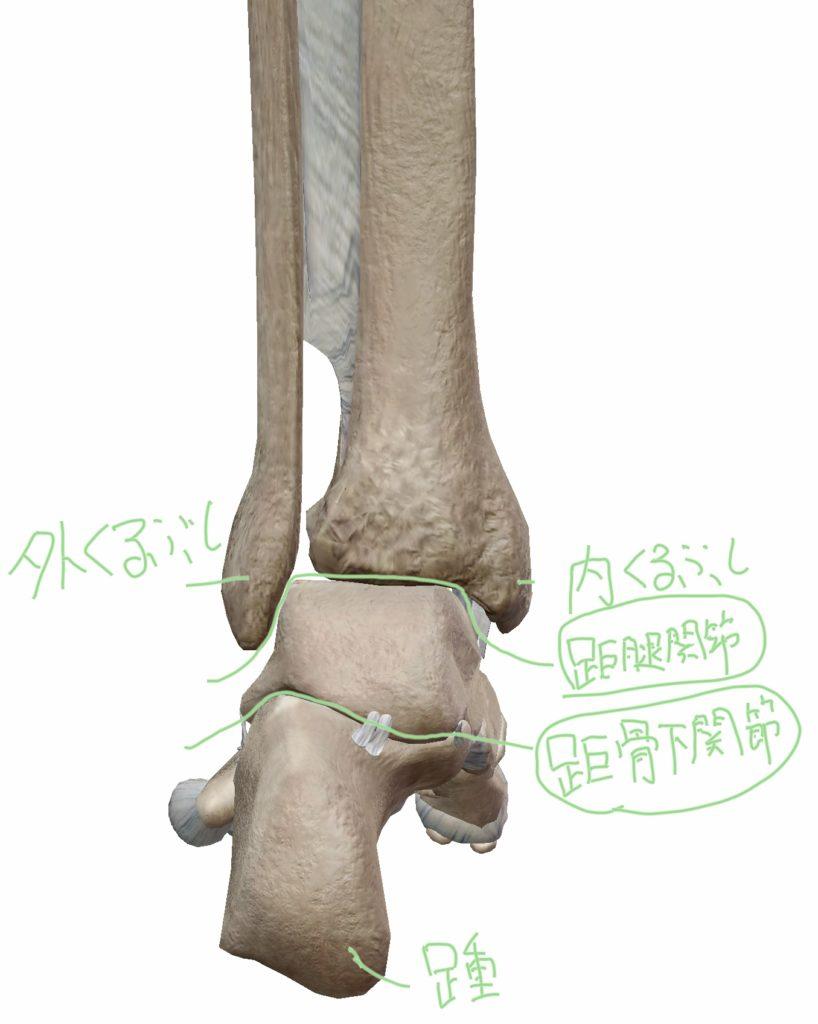 足を後方から見た距骨下関節と距腿関節の位置