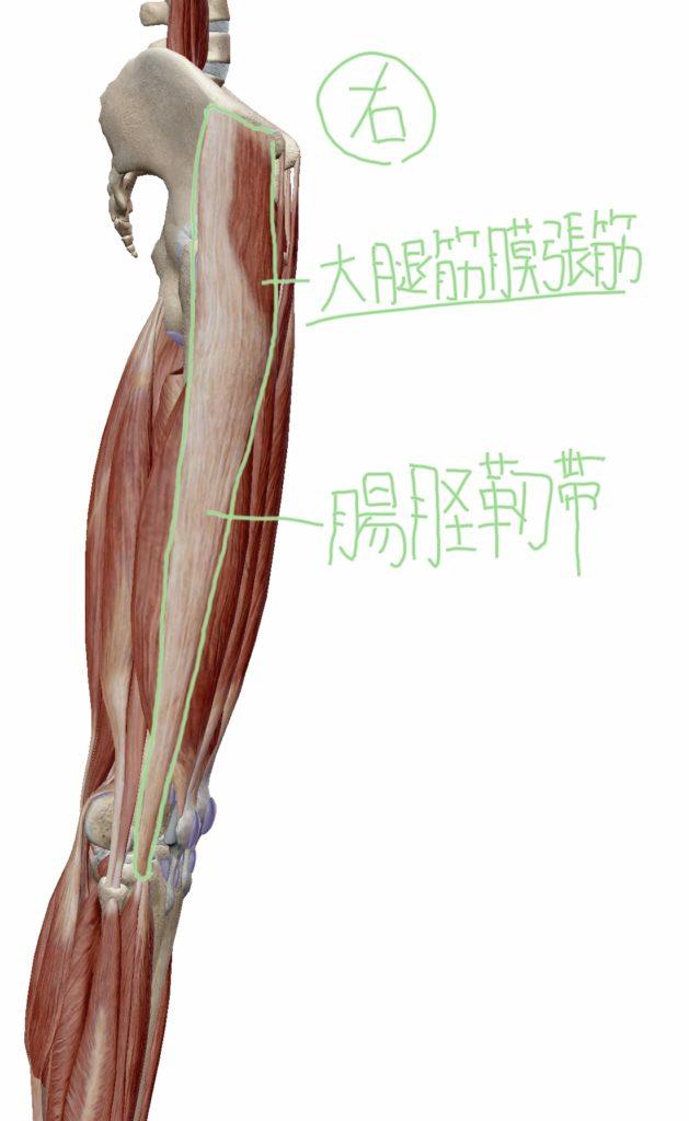 大腿筋膜張筋・腸脛靭帯の位置を横から見た図
