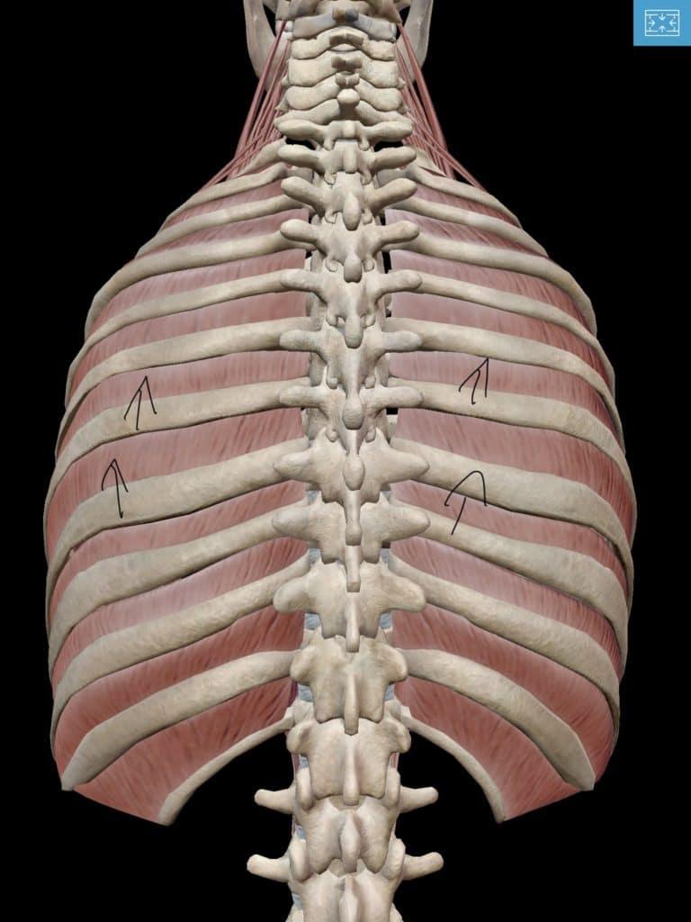 息を吸った時の胸郭