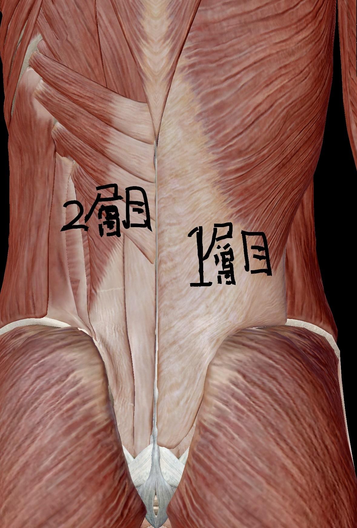 腰部の筋肉1層目