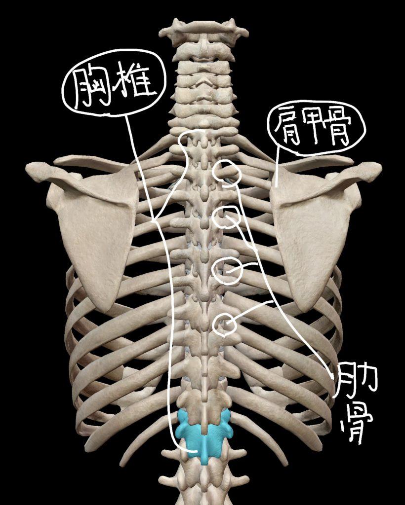 胸椎・肩甲骨・肋骨の位置関係