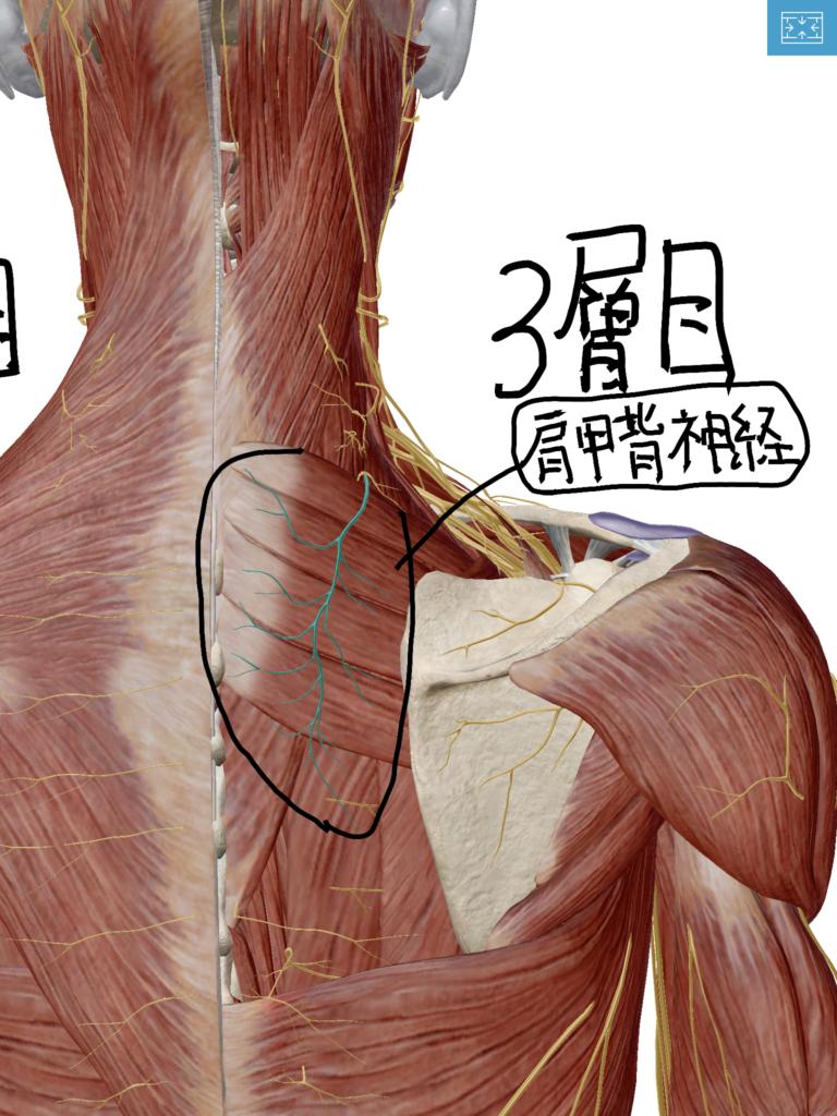肩甲背神経の図