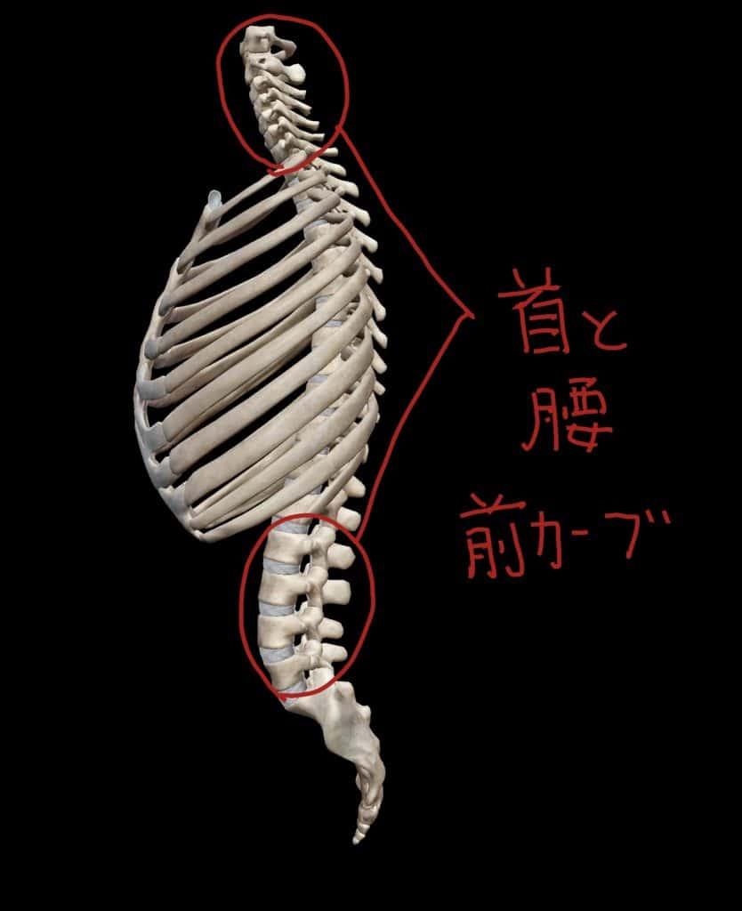 頸椎と腰椎の前カーブ