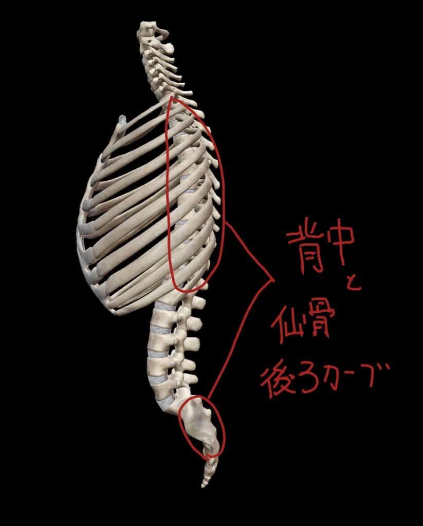 胸椎と仙骨の前カーブ