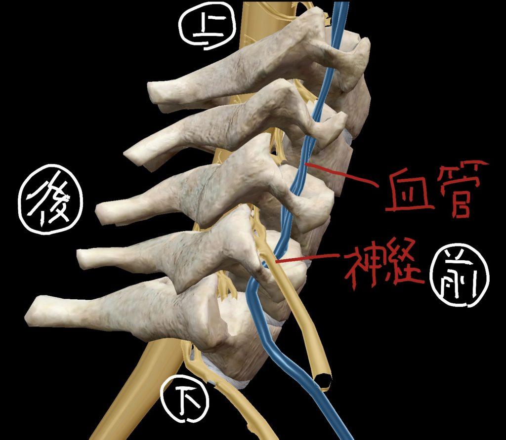 頸椎を右側面から見た際の脊椎神経・椎骨動脈の位置関係図