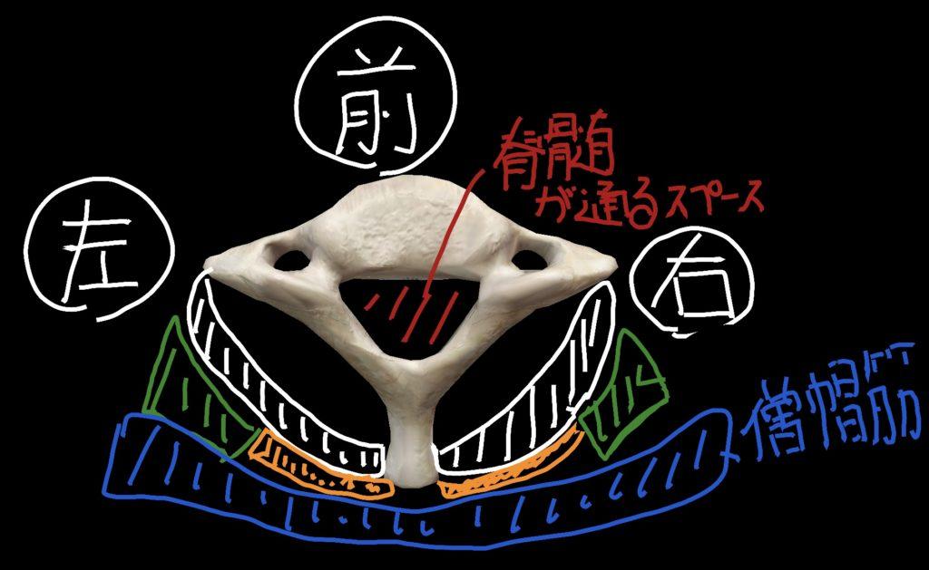 第7頸椎を上から見た際の筋肉との位置関係
