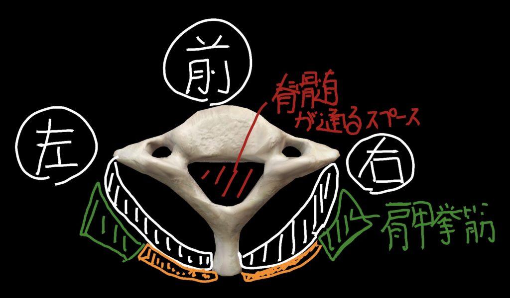 第7頸椎を上から見た図