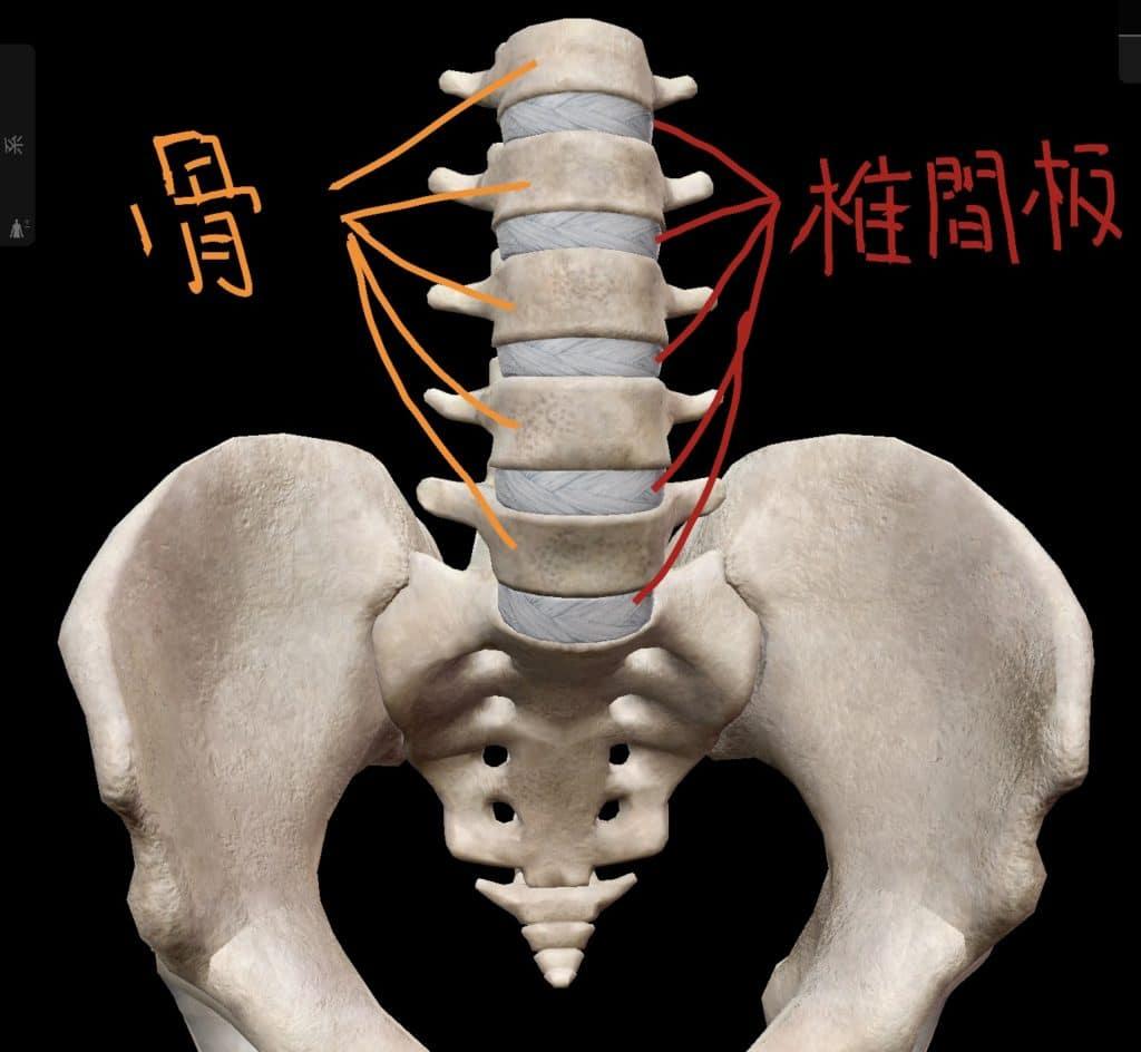 椎間板と骨の位置関係