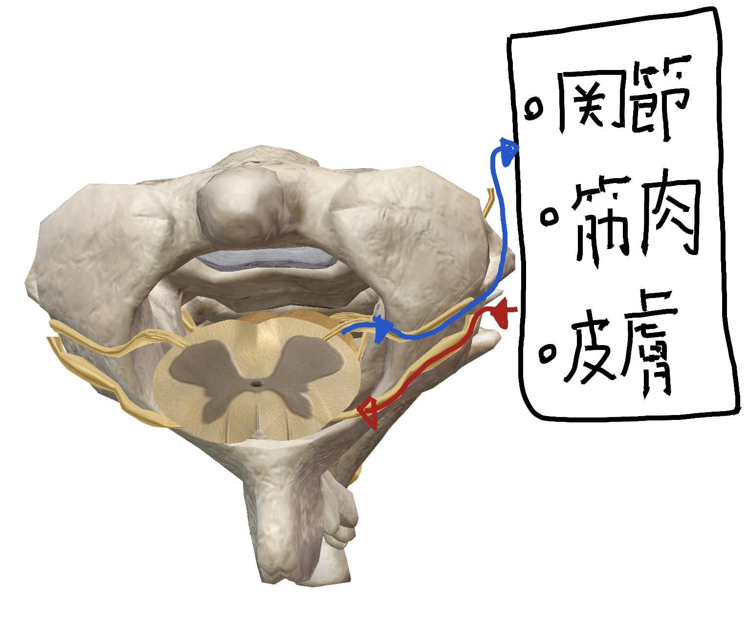 椎骨と脊髄、脊椎神経の図