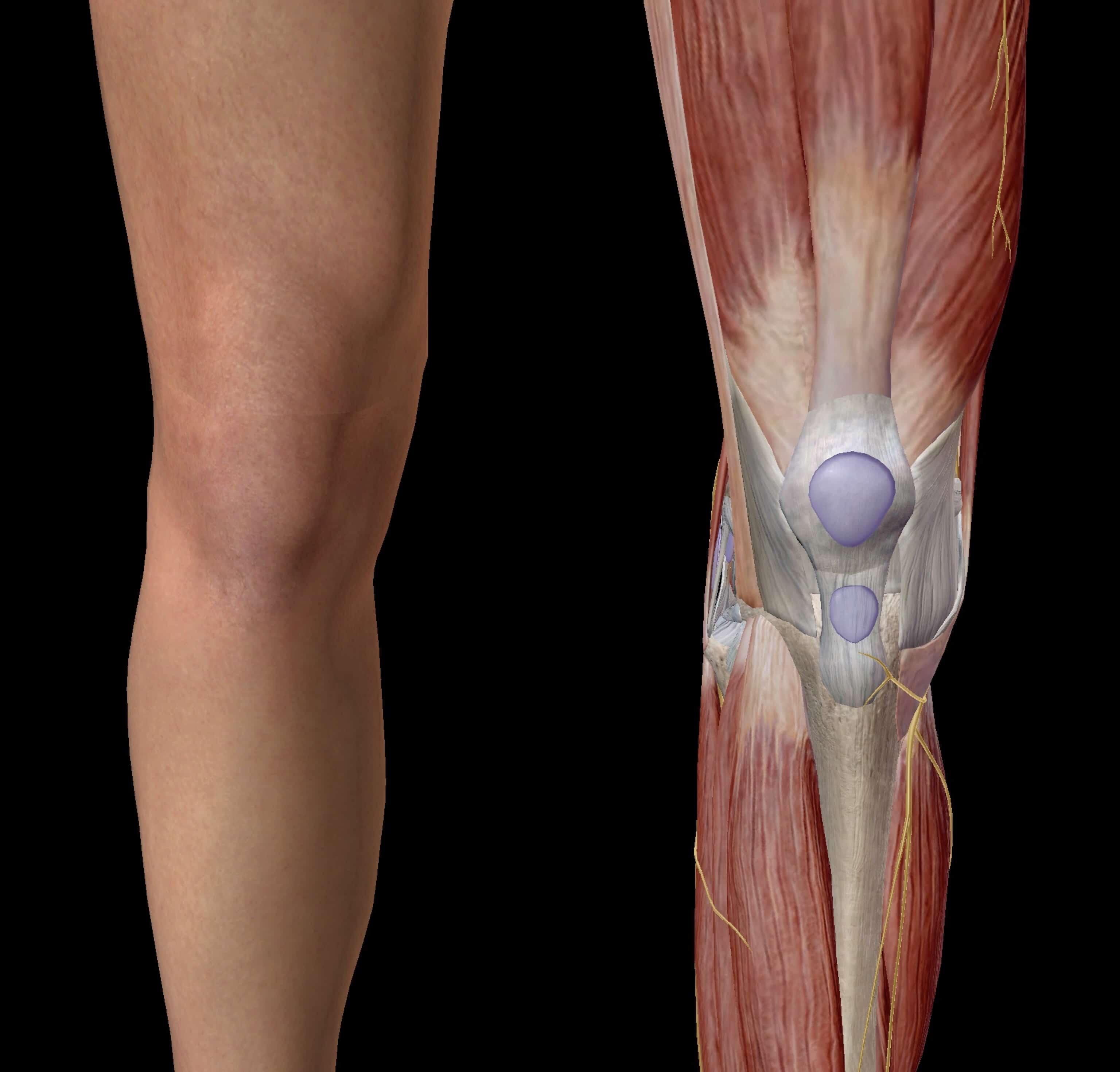 膝の体表図と筋肉図の対比