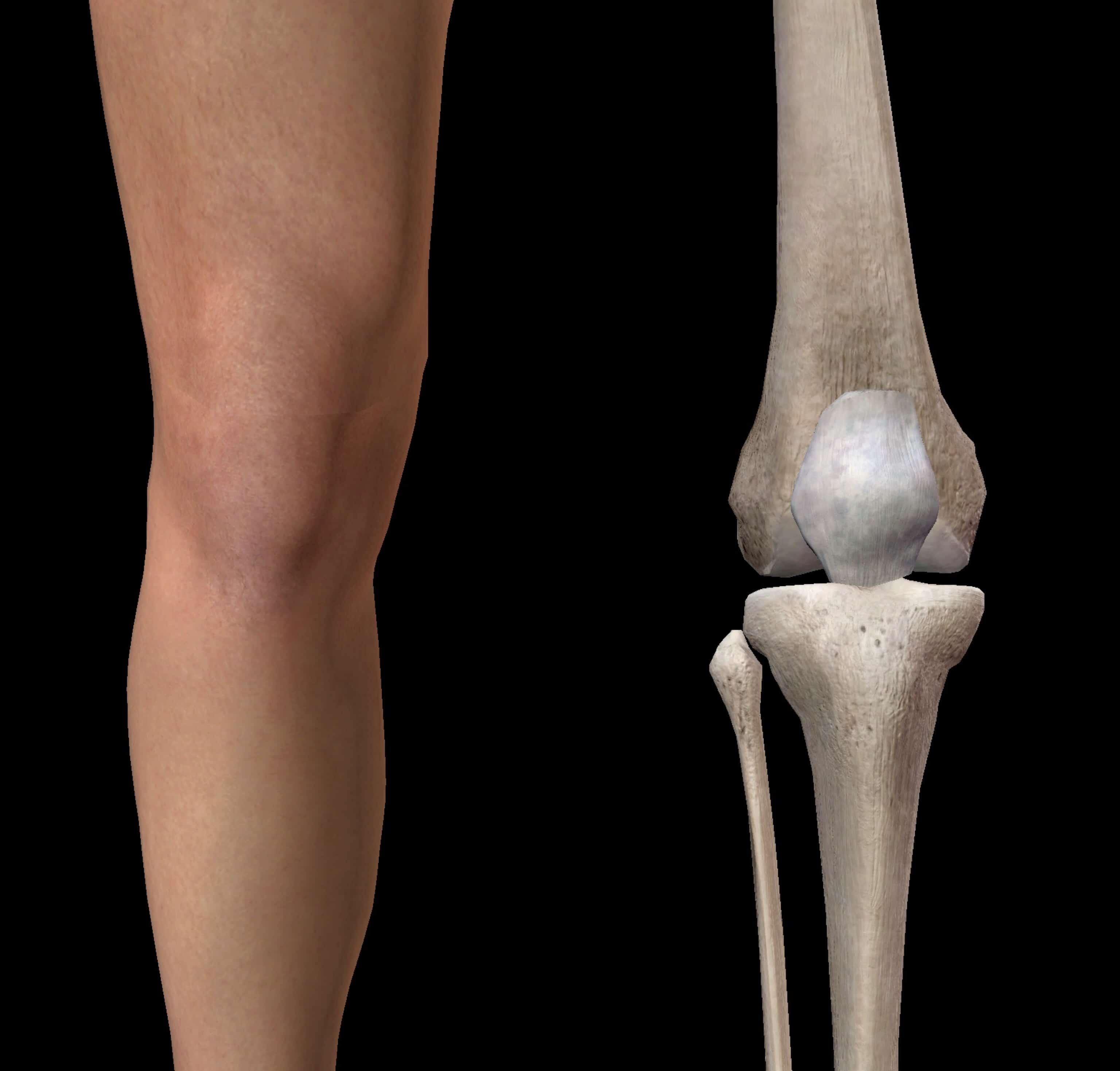 膝の体表図と骨の対比図